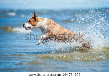 American staffordshire terrier dog running in the sea water - stock photo