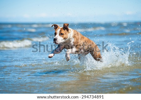 American staffordshire terrier dog running in the water - stock photo