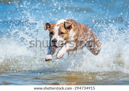 American staffordshire terrier dog running in the water with a lot of splashing  - stock photo