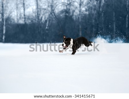 American staffordshire terrier dog running in winter - stock photo