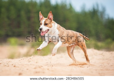 American staffordshire terrier dog running on the beach - stock photo