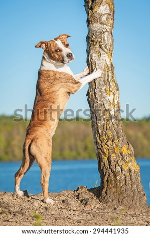 American staffordshire terrier dog standing near a tree  - stock photo