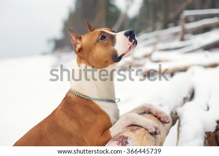 American Staffordshire Terrier dog staying on the fallen tree at the river bank