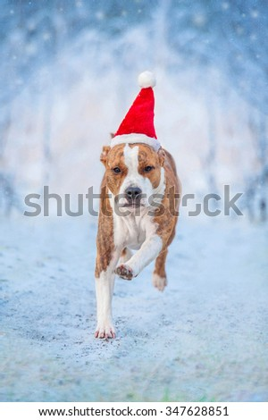 American staffordshire terrier dog with a santa claus hat running outdoors in winter