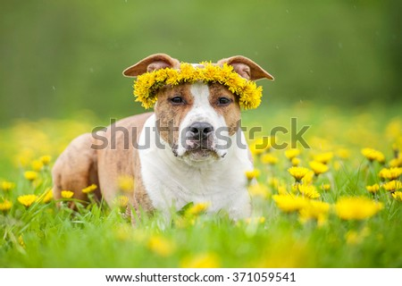 American staffordshire terrier dog with a wreath of flowers on its head - stock photo