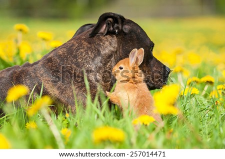 American staffordshire terrier dog with little rabbit on the field with dandelions - stock photo