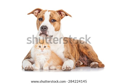 American staffordshire terrier dog with little red kitten - stock photo