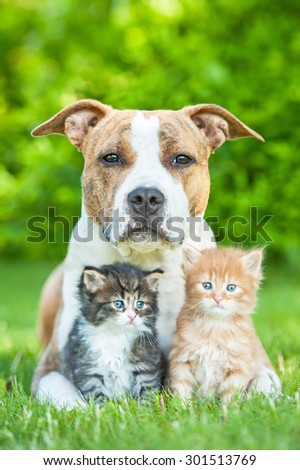 American staffordshire terrier dog with two little kittens - stock photo