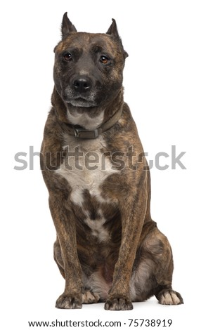 American Staffordshire Terrier dog, 12 years old, sitting in front of white background - stock photo