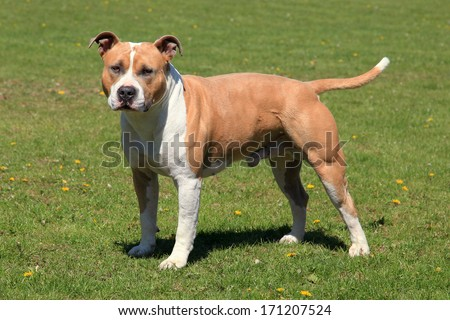 American Staffordshire Terrier in a green grass lawn