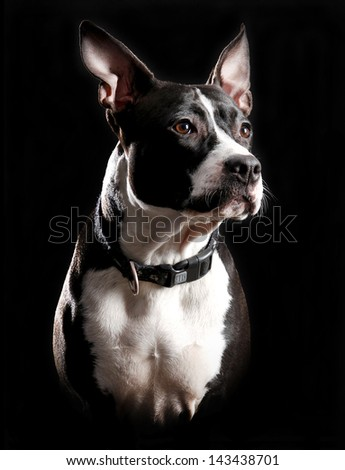 American Staffordshire terrier in front of a black background - stock photo