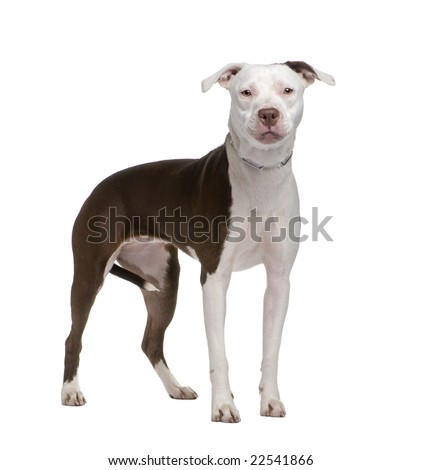 american staffordshire terrier in front of a white background - stock photo