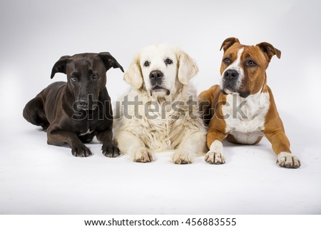 American staffordshire terrier, kennel dog