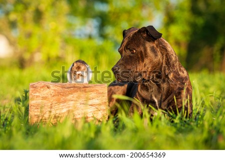 American staffordshire terrier looking at the rat