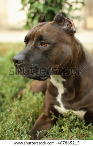 American Staffordshire Terrier lying on the grass