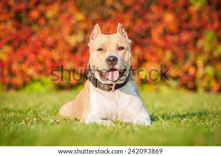 American staffordshire terrier lying on the lawn in autumn  - stock photo