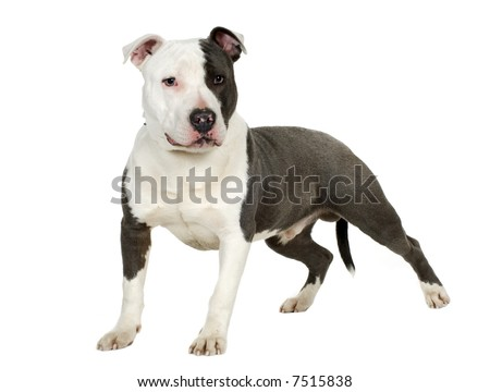 American Staffordshire terrier (7 months) in front of a white background - stock photo