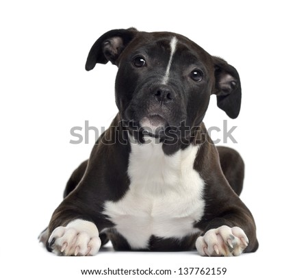 American Staffordshire terrier, 4 months old, lying, isolated on white