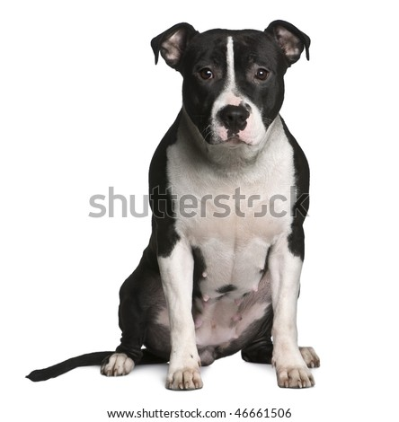American Staffordshire terrier, 11 months old, sitting in front of white background - stock photo