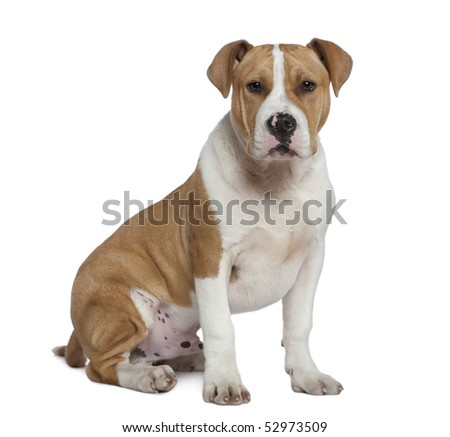 American Staffordshire terrier, 5 months old, sitting in front of white background - stock photo