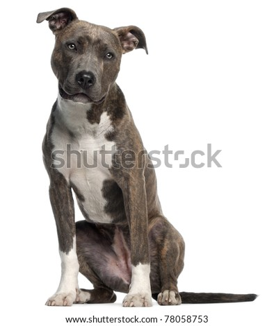 American Staffordshire Terrier, 8 months old, sitting in front of white background - stock photo