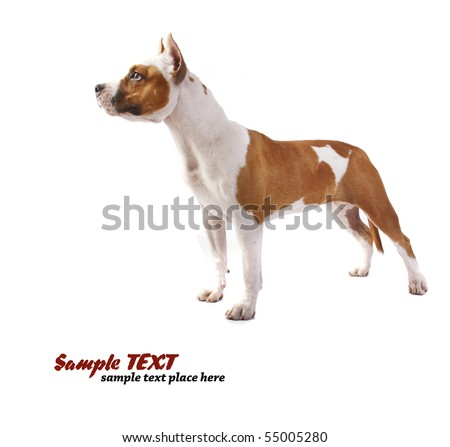 American Staffordshire terrier of a white - stock photo