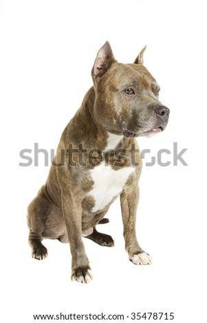 American Staffordshire terrier of a white background - stock photo