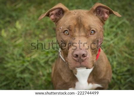 American Staffordshire Terrier Portrait - stock photo