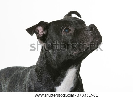 American Staffordshire Terrier portrait. Image taken in a studio.