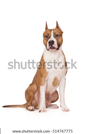 american staffordshire terrier posing on white