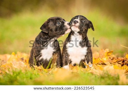 American staffordshire terrier puppies kissing in autumn - stock photo