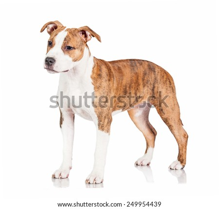 American staffordshire terrier puppy  - stock photo
