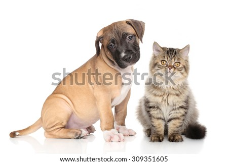 American Staffordshire Terrier puppy and Exotic kitten in front of white background. Cat and dog - stock photo