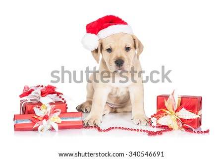 American staffordshire terrier puppy dressed in a christmas hat sitting among presents