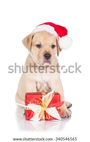 American staffordshire terrier puppy dressed in a christmas hat with a present