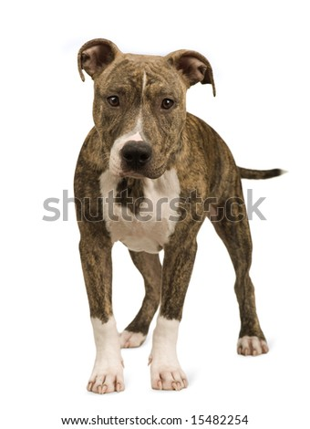 American Staffordshire terrier puppy (5 months) in front of a white background - stock photo