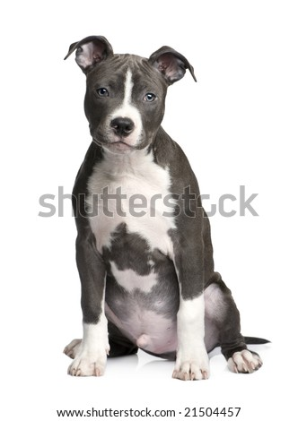 American Staffordshire terrier puppy (3 months) in front of a white background - stock photo