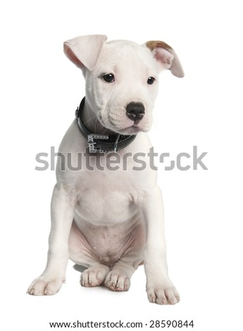 American Staffordshire terrier puppy (2 months) in front of a white background - stock photo