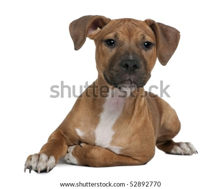 American Staffordshire terrier puppy, 4 months old, in front of white background - stock photo