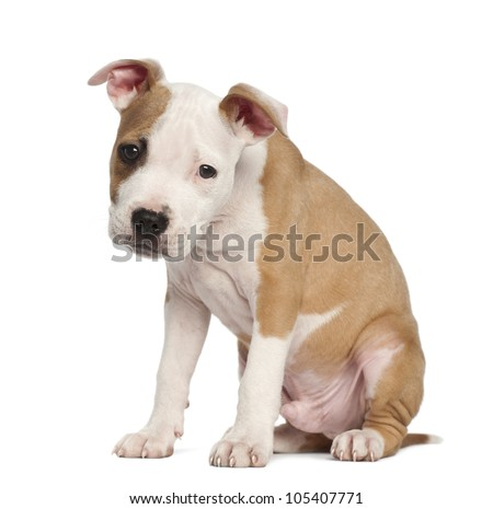 american staffordshire terrier 8 months old sitting in