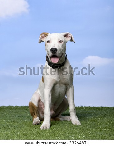American Staffordshire terrier puppy (5 months) sitting on the grass against blue sky - stock photo