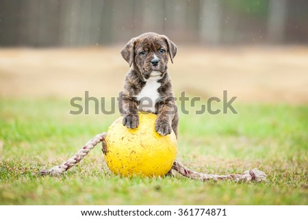 American staffordshire terrier puppy playing with a ball - stock photo