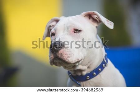 American Staffordshire Terrier Puppy portrait - stock photo