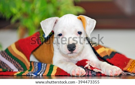American Staffordshire terrier puppy sitting on blanket - stock photo