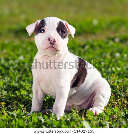 American Staffordshire terrier puppy sitting on grass
