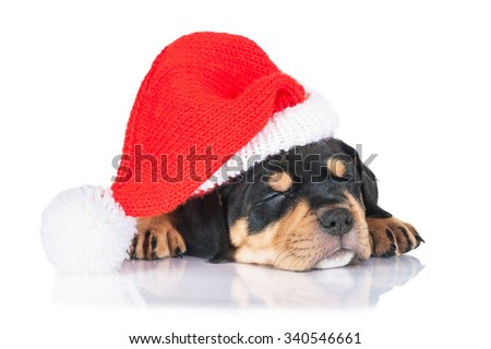 American staffordshire terrier puppy sleeping dressed in a christmas hat - stock photo