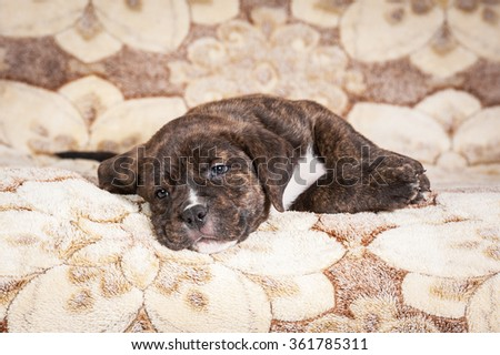 American staffordshire terrier puppy sleeping on the bed