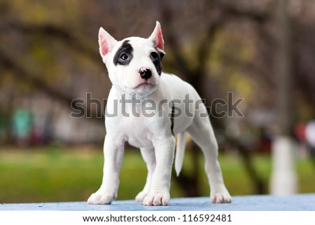 American Staffordshire terrier puppy standing on outdoor - stock photo