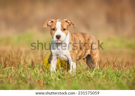 American staffordshire terrier puppy standing outdoors - stock photo
