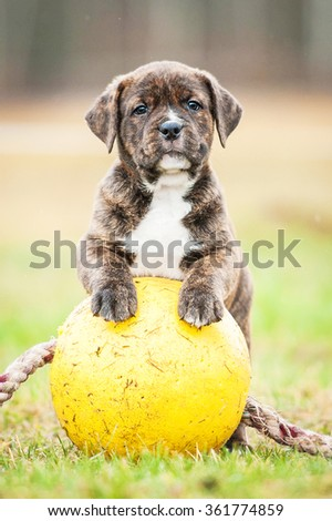 American staffordshire terrier puppy with a ball - stock photo